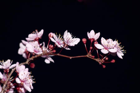 Close up of the blooming branch of the fruit tree. photo