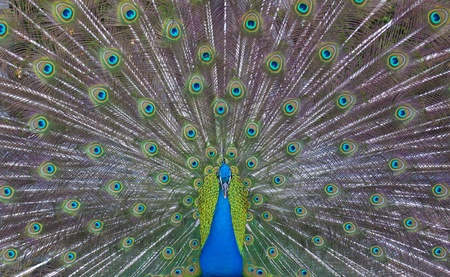 Peacock showing his majestic tail during the mating season. photo