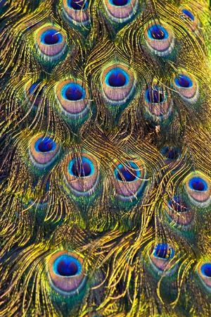 The colourful patern on  the peacocks feather photo