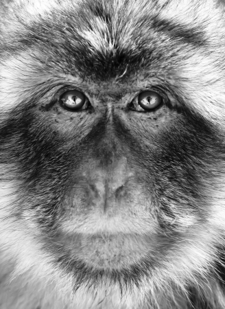 barbary ape: Black and white close-up portrait of a Gibraltar Barbary Macaques. Stock Photo