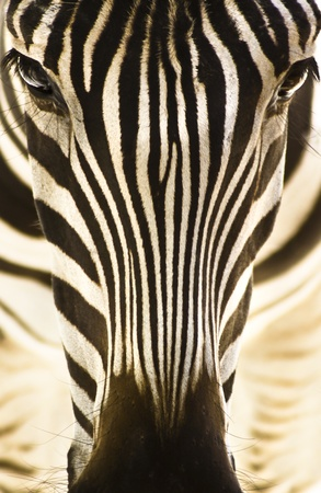 emphasized: Artistic closeup portrait of a zebra - emphasized graphical pattern. Stock Photo