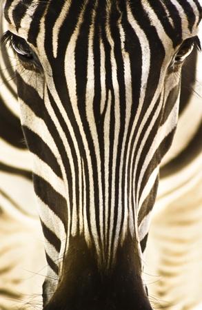 cebra: Detalle art�stico retrato de una cebra - destac� patr�n gr�fico. Foto de archivo