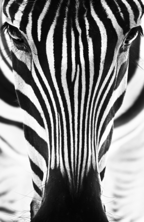 emphasized: Artistic black and white closeup portrait of a zebra - emphasized graphical pattern.