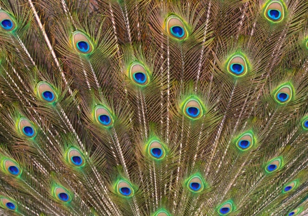 Peacock tail feathers forming a pattern filling the frame photo