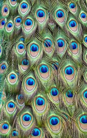 piuma bianca: Pavone piume della coda formando un pattern di riempimento del telaio
