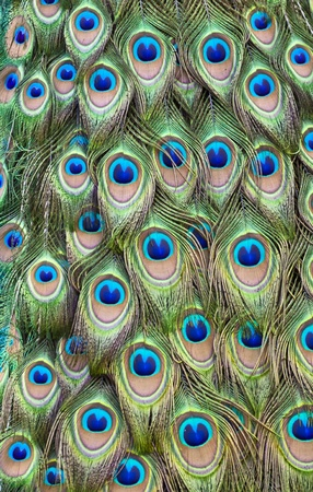 Peacock tail feathers forming a pattern filling the frame