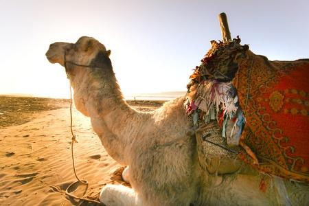 saddle camel: Camel resting on the sandy beach of Atlantic. Stock Photo