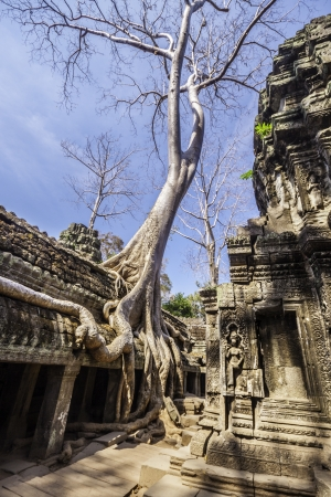 siem reap: Tree in the ancient temples of Ta Phrom, Angkor Wat, near Siem Reap, Cambodia, South East Asia.