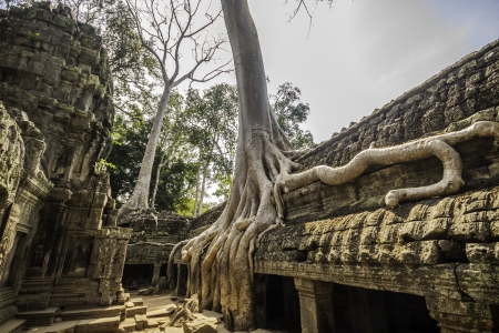 Tree in the ancient temples of Ta Phrom, Angkor Wat, near Siem Reap, Cambodia, South East Asia.