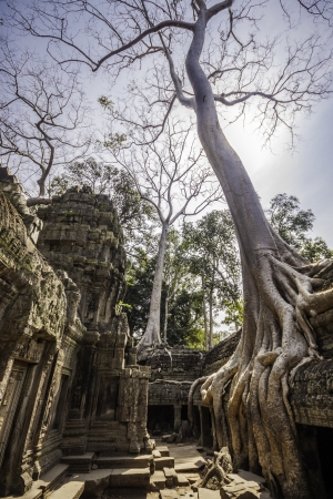 cambodia sculpture: Tree in the ancient temples of Ta Phrom, Angkor Wat, near Siem Reap, Cambodia, South East Asia.