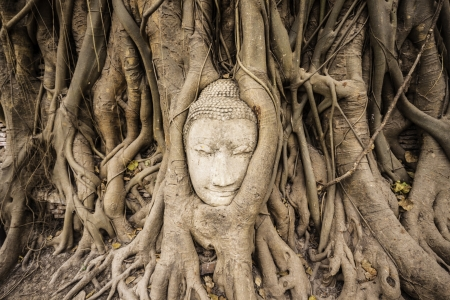 Head of Sandstone Buddha overgrown by Banyan Tree,  Ayutthaya historical park, Thailand photo