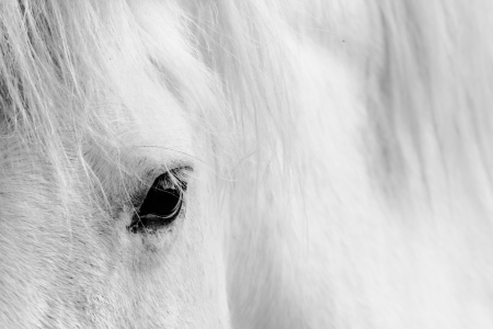 horses in field: Macro detail of a white horse eye.