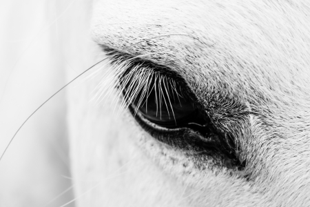 black horses: Macro detail of a white horse eye.
