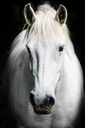 black horses: Portrait of a white horse.