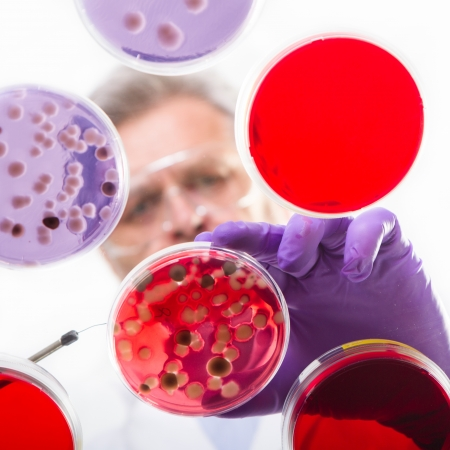 life science: Focused senior life science professional grafting bacteria in the pettri dishes.  Lens focus on the agar plate. Stock Photo