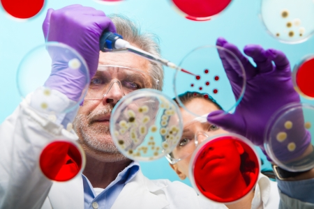 Focused senior life science professional pipetting solution into the pettri dish.  Lens focus on the man researchers's face. photo