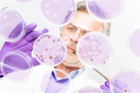 bakterien: Fokussiert Senior Life Science professionelle Pfropfen Bakterien in den Petrischalen. Linse Fokus auf der Arbeitsfl�che.