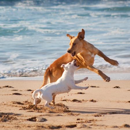 perros jugando: Dos perros jugando en la playa de arena. Foto de archivo