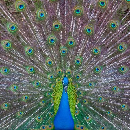 plumas de pavo real: Peacock mostrando su majestuoso cola durante la época de apareamiento.