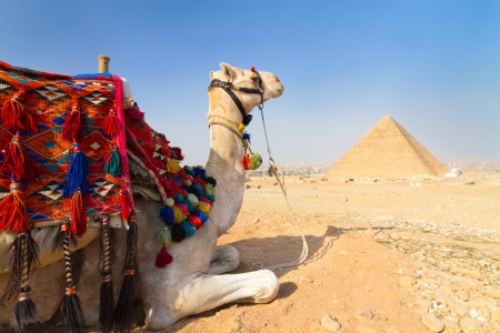saddle camel: A patient camel with a colorful saddle waits for its owner in front of the pyramids of Giza in Cairo, Egypt  Vertical