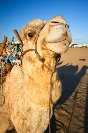 Portrait of a cheerful domestic camel. photo