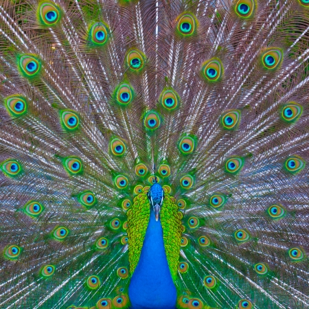 flatter: Peacock showing his majestic tail during the mating season.