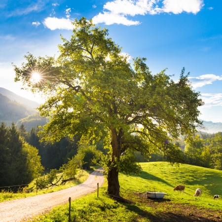 Cows grazing in the countryside in idyllic rural areas of Slovenia, Europe. Morning sunbeams shine trough the branches of apple tree. photo