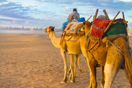 morocco: Camel caravan at the beach of Essaouira in the sunset, Morocco, Africa. Stock Photo