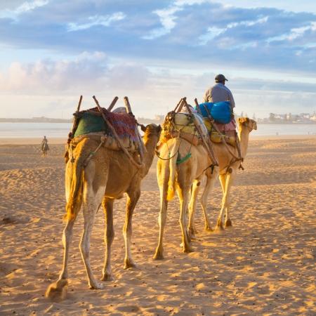 日没、モロッコ、アフリカのエッサウィラ ビーチでのラクダのキャラバン。