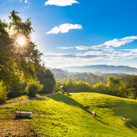 slovenia: Cows grazing in the countryside in idyllic rural areas of Slovenia, Europe. Morning sunbeams shine trough the branches of apple tree. Stock Photo
