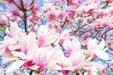 magnolia: Beautiful magnolia tree blossom in spring time. Stock Photo