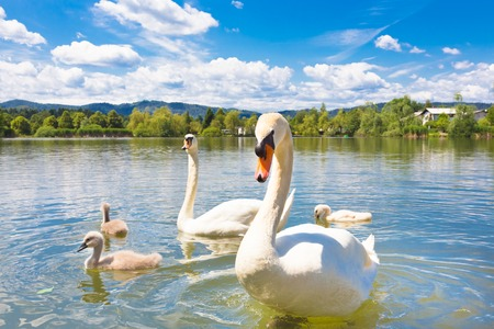 Swan family swimming in Koseze Pond or Martinek Pond or Lake Koseze is an artificial pond at the edge of Ljubljana, the capital of Slovenia. photo