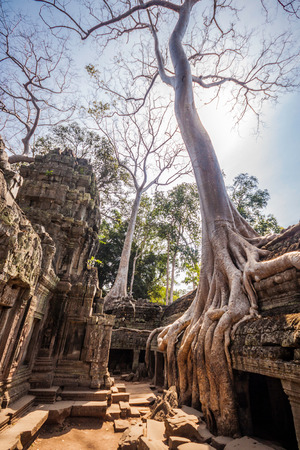 phrom: Tree in the ancient temples of Ta Phrom, Angkor Wat, near Siem Reap, Cambodia, South East Asia.