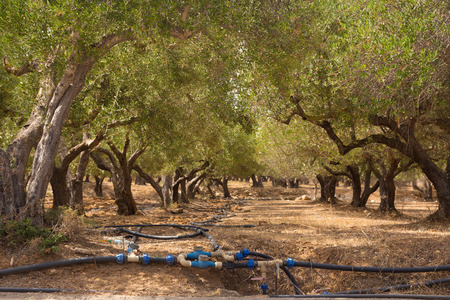 irrigated: Irrigated olive grove on a hot summer day on Crete island, Greece. Stock Photo