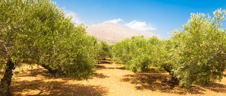 arboleda: Olivar en un día caluroso de verano en la isla de Creta, Grecia. Foto de archivo
