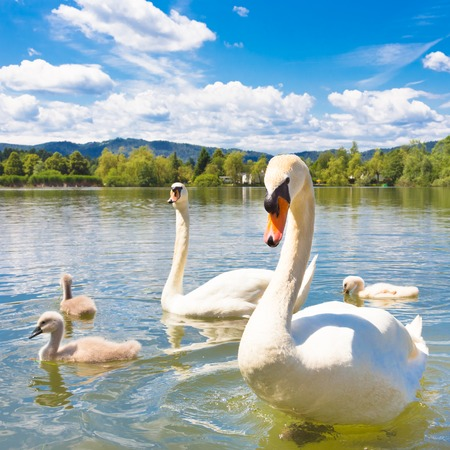 swan pair: Swan family swimming in Koseze Pond or Martinek Pond or Lake Koseze is an artificial pond at the edge of Ljubljana, the capital of Slovenia.