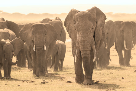 family units: Herd of african elephants walking in savanna. African elephant societies are arranged around family units made up of around ten closely related females and their calves and is led by an older female. Stock Photo