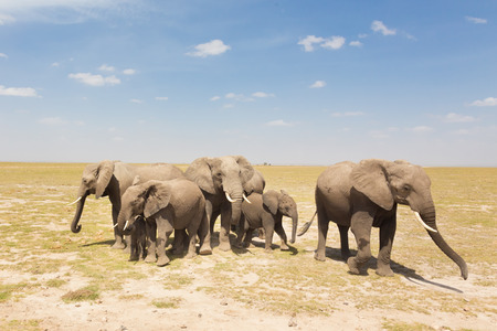 family units: Herd of african elephants in savanna. African elephant societies are arranged around family units made up of around ten closely related females and their calves and is led by an older female.