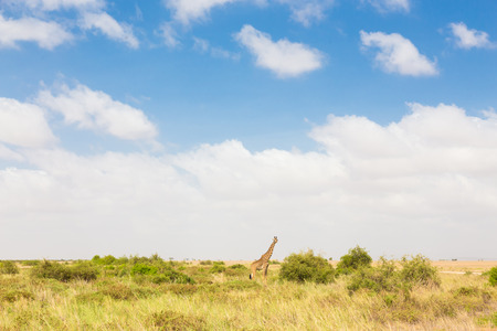 terrestrial mammal: Giraffe in african wilderness. Giraffa camelopardalis is African even-toed ungulate mammal, tallest living terrestrial animal and the largest ruminant.