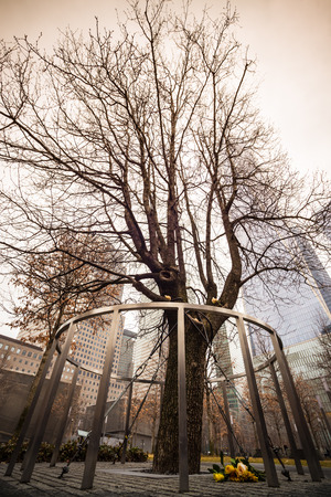 resilience: Survivor Tree That Withstood 9.11. Attacks on WTC Memorial Plaza, National September 11 Memorial, Manhattan, New York, United States of America.