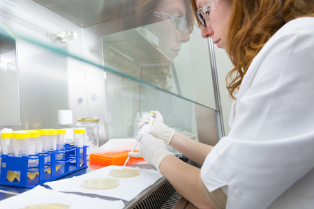 taken: Female scientist researching in laboratory, pipetting cell culture medium samples in laminar flow. Life science professional grafting bacteria in the pettri dishes. Photo taken from laminar interior.