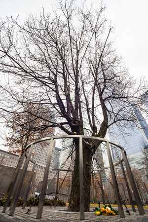 wtc: Survivor Tree That Withstood 9.11. Attacks on WTC Memorial Plaza, National September 11 Memorial, Manhattan, New York, United States of America.