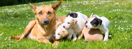 bitch: Mixed-breed cute little puppies playing with her dog mom outdoors on a meadow on a sunny spring day. Stock Photo