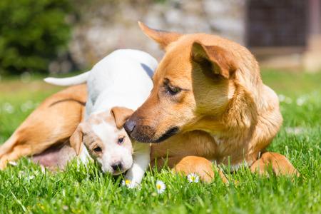 puta: De raza mixta lindo perrito jugando con su mamá perro al aire libre en un prado en un día soleado de primavera. Foto de archivo
