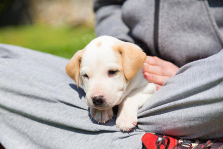 Mixed-breed adorable cute little puppy petting in a lap of a female owner, outdoors on a meadow on a sunny spring day. Stock Photo