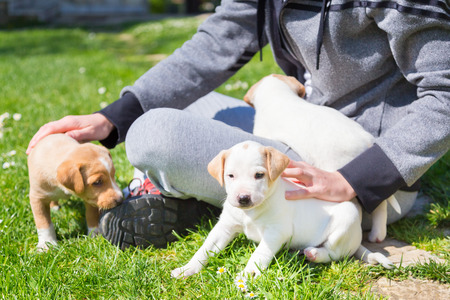 dogs play: Mixed-breed adorable cute little puppies petting in a lap of a female owner, outdoors on a meadow on a sunny spring day.
