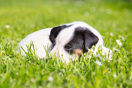 Mixed-breed adorable cute little puppy lying twisted in green grass on a sunny spring day. photo