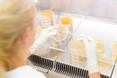 lb: Female scientist researching in laboratory, pipetting cell culture samples on LB agar medium in laminar flow. Life science professional grafting bacteria in the petri dishes. Stock Photo