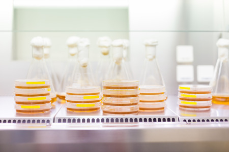 erlenmeyer: Cell culture samples on LB agar medium in petri dishes and Erlenmeyer flask in laminar flow. Agar plates are used by biologists to culture cells, mold, fungi, bacteria or small moss plants. Stock Photo