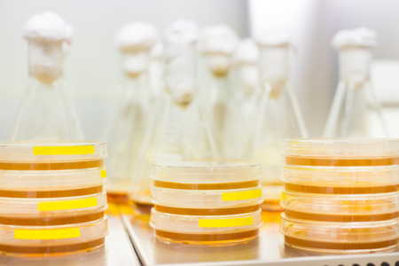 lb: Cell culture samples on LB agar medium in petri dishes and Erlenmeyer flask in laminar flow. Agar plates are used by biologists to culture cells, mold, fungi, bacteria or small moss plants. Stock Photo